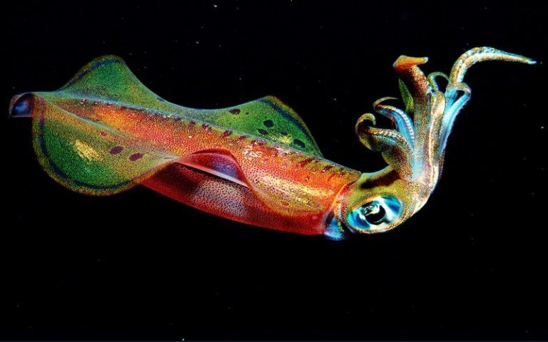 Different Squid